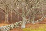 Old Oak Trees along Stone Wall, Martha's Vineyard, Chilmark, MA
