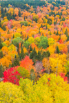 Brilliant Fall Foliage on Halfmoon Mountain, Rangeley Lakes Region, Village of Wilsons Mills, Lincoln Plantation, ME