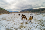 Horses Grazing in Pasture on Winter Day, Green Mountains Region, Townshend, VT