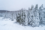 Spruce Trees at Edge of Wetlands after Snowfall, Green Mountain National Forest, Winhall, VT