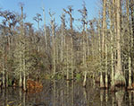 Pond Cypress Swamp