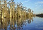 Cypress Trees along Billy's Lake, Okefenokee Swamp