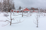 Red Barns and Apple Trees at Red Apple Farm in Winter under Stormy Skies, Phillipston, MA