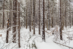 Spruce Forest after Snowstorm, Marlboro, VT