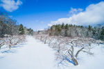 Apple Orchard after Snowstorm under Clearing Skies, New Salem, MA