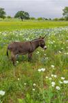 Donkey in Field of Wildflowers, near Llano, TX