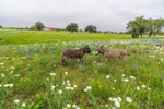 Donkeys in Field of Wildflowers, near Llano, TX
