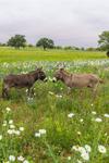Donkeys in Field of Wildflowers, near Llano, TX