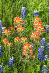 Close Up of Texas Bluebonnets and Indian Paintbrush in Bloom, Ellis County near Palmer, TX