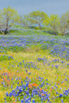 Field of Texas Bluebonnets with Indian Paintbrush in Bloom, Ellis County near Palmer, TX