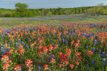 Wildflower Meadow of Indian Paintbrush and Texas Bluebonnets in Bloom, Ellis County near Palmer, TX
