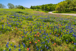 Texas Bluebonnets and Indian Paintbrush in Bloom along Country Road, Ellis County near Ennis, TX