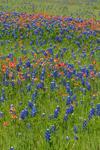 Texas Bluebonnets and Indian Paintbrush in Bloom on Hillside, Ellis County near Ennis, TX