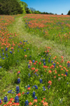 Path through Wildflower Meadow of Indian Paintbrush and Texas Bluebonnets in Bloom, Ellis County near Ennis, TX