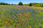 Wildflower Meadow of Texas Bluebonnets and Indian Paintbrush in Bloom, Ellis County near Ennis, TX