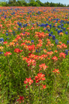 Wildflower Meadow of Texas Bluebonnets and Indian Paintbrush in Bloom, Ellis County near Ennis, TX