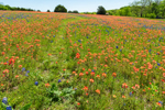 Footpath through Wildflower Meadow of Indian Paintbrush and Texas Bluebonnets in Bloom, Ellis County near Ennis, TX