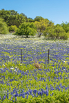 Field of Texas Bluebonnets and Pricklypoppies in Bloom, near Prairie Mountain and Llano, TX