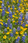 Close Up of Texas Bluebonnets and Sneezeweeds in Bloom, near Mason, TX