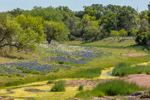 South Branch Coal Creek Flowing through Texas Bluebonnets and Pricklypoppies, Willow City Loop, near Fredericksburg, TX