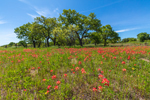 Field of Indian Paintbrush in Bloom near Fredericksburg, TX