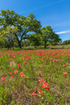 Field of Indian Paintbrush in Bloom near Fredericksburg, TX