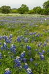 Field of Texas Bluebonnets and Pricklypoppies in Spring, Llano, TX