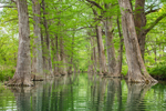 Bald Cypress Trees in Spring along Verde Creek, Center Point, TX