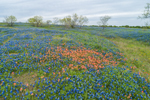 Field of Texas Bluebonnets and Indian Paintbrush in Bloom, Ellis County near Palmer, TX