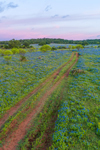 Cart Road through Field of Texas Bluebonnets at Sunrise, near Mason, TX