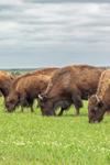 Bison Grazing at Tallgrass Prairie Preserve, near Pawhuska, OK