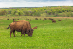 Bison Grazing at Tallgrass Prairie Preserve, near Pawhuska, OK
