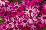 Close Up of Senetti Ruby Red Cineraria Flowers in Spring, Martha's Vineyard, West Tisbury, MA
