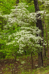 Flowering Dogwood Trees in Bloom in Spring, Devil's Den State Park, near Winslow, AR