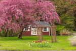 Flowering Crab Apple Tree and Little Red Barn in Spring, Stafford Springs, CT