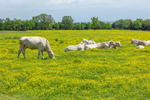 Charolais Cattle in Field of Yellow Buttercups, Prescott's Charolais Ranch, Crawford County, near Alma, AR