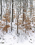 Beech Leaves in Winter, Mohawk Trail State Forest