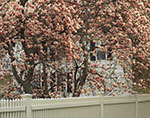 Tulip Tree in Full Bloom with Picket Fence