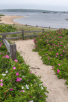 Path through Beach Roses, Napatree Point Conservation Area, Watch Hill, Westerly, RI