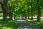 Old Sugar Maple Trees along Country Road in Summer, Holderness, NH
