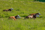 Hereford Cattle Lying Down in Grassy Field, Colrain, MA