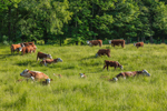 Hereford Cattle in Grassy Field at Edge of Woodlands, Colrain, MA