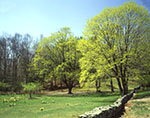 Stone Wall with Maple Trees and Naturalized Daffodils in Bloom in Connecticut Countryside