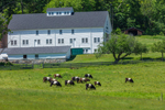 Big White Barn with Belted Galloway Cattle Grazing in Pasture, Burleigh Farm, Holderness, NH