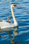 Mute Swan with Cygnets Riding on Her Back on Lake Montauk, Village of Montauk, Long Island, East Hampton, NY