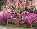 Weeping Cherry Tree and Azaleas in Full Bloom along Split Rail Fence