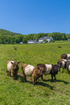 Belted Galloway Cattle in Farm Pasture, Burleigh Farm, Holderness, NH