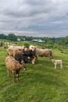 Herd of Cows in Pasture, Hardwick, MA