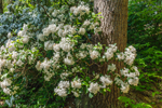 Mountain Laurel in Full Bloom along Millers River near Bearsden Conservation Area, Athol, MA