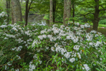 Mountain Laurel in Bloom along Millers River near Bearsden Conservation Area, Athol, MA